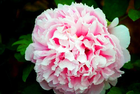 Drunk in the Blossoming Peony of Luoyang