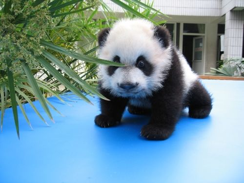 One Day Classic Chengdu Tour with Panda Seeing