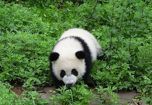 Chengdu City of Sichuan Province is home of Grand Pandas.
