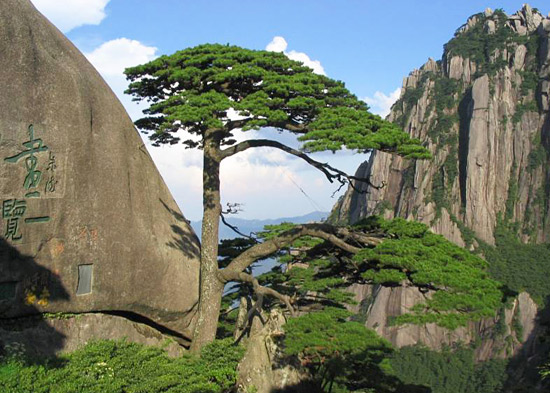 "The Guest-greeting Pine of Yellow Mountain won the fame of ""the First Pine of China""."