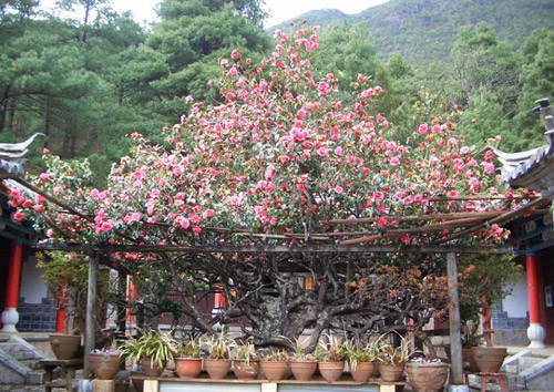 "The full blossom of the 300-year-old ""ten-thousands-flower camellia"" in Jade Peak Temple"