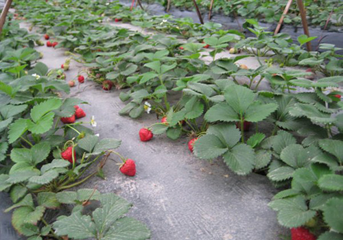 Tourists can enjoy strawberry picking in Daxv Ancient Town in spring.