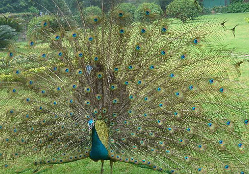 A peacock in the Seven Star Zoo of Guilin is spreading its beautiful tail.