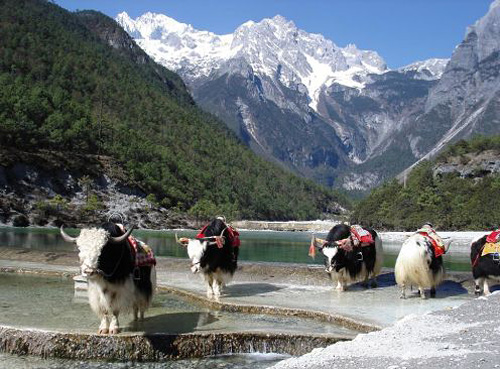 Tourists can take a photo with yaks on the Yak Plateau.