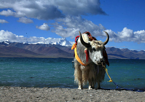 The Heaven lake, Namtso lake and the white yak, you can take photos with the yaks.