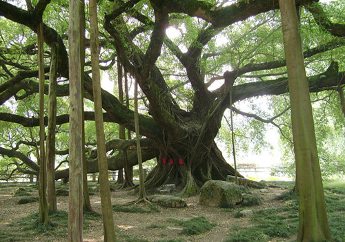 A picture taken under the Big Banyan in Yangshuo.