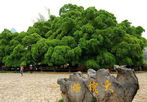 The Big Banyan in Yangshuo is usually related to the love story of Liu Sanjie and A Niu.