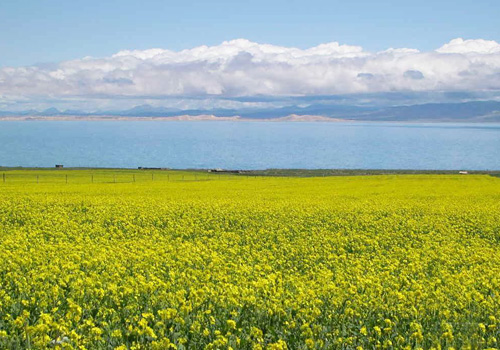 Fragrant golden rape flowers in June around Qinghai Lake,Xining
