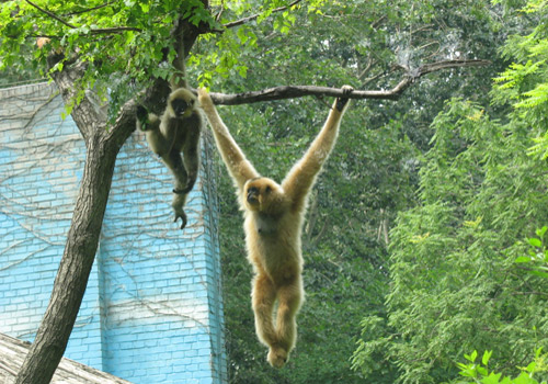 Two monkeys are playing on a tree at Beijing Zoo.