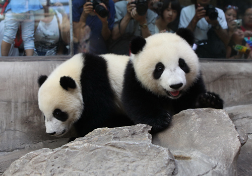 Visitors are taking photos of two pandas at Beijing Zoo.