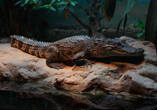 A crocodile at Beijing Zoo.