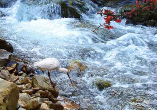 A white crane is drinking water by a stream in Shennong Stream scenic area.
