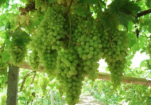 Abounding with grapes,various grape products are also offered,such as raisins,jams,and wines.