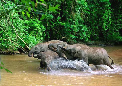 Lucky tourist may find wild elephants bathing in the Wild Elephant Valley,Xishuangbanna.