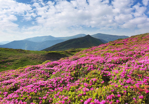 In summer,Baimang Snow Mountain is flourishing with alpine azalea.
