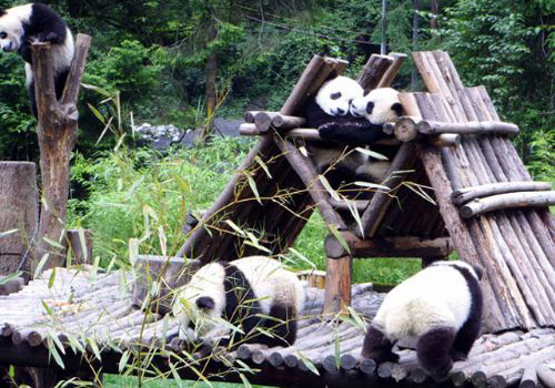 Pandas are leading a carefree life.