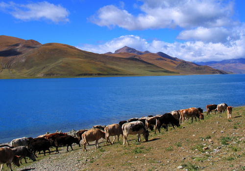 Yamdrok Lake is located in Gyantse,70 km from Lhasa southwest of Lhasa,Tibet.