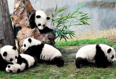 Chinese Pandas, Chinese Culture