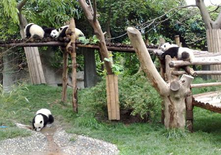 Where to see Pandas (giant pandas) in China?