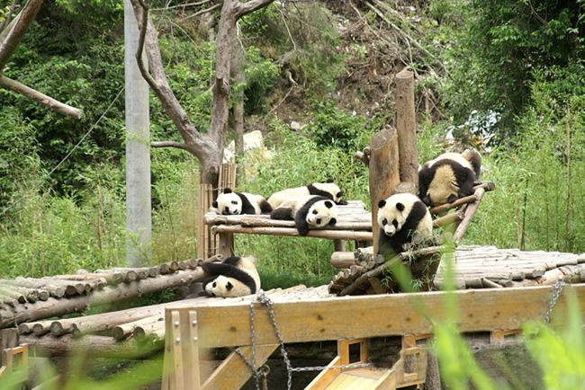 Giant Pandas play in the wild, Wolong Panda Center