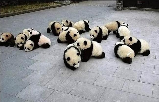 Pandas rest on the ground in Wolong Panda Center
