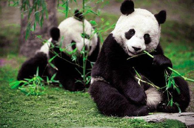 Two pandas eat bamboos, Wolong