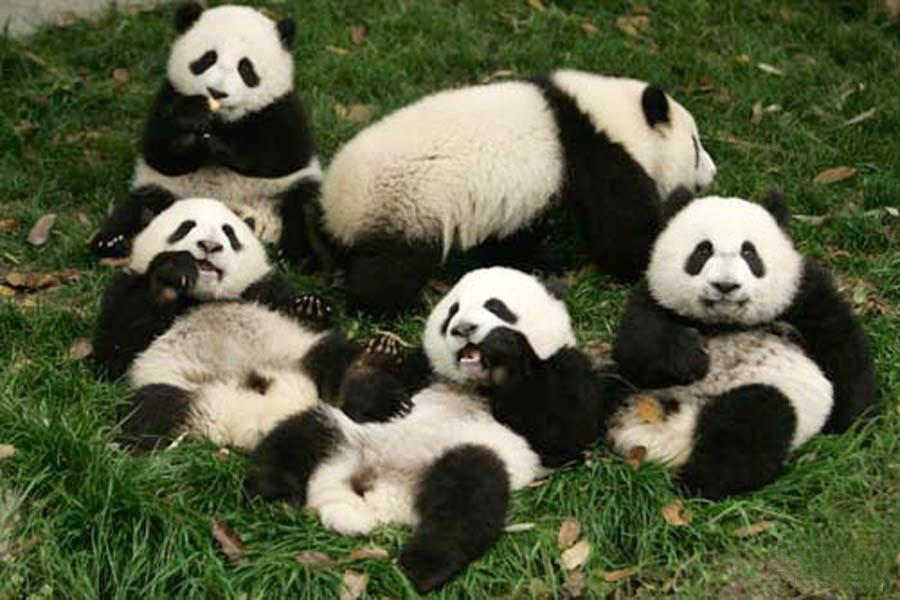 Giant Pandas play on the grass, Wolong