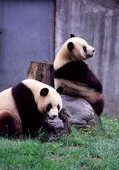 Giant pandas Tuantuan and Yuanyuan in Wolong Panda Center, both were sent to Taiwan later as gift in 2008.