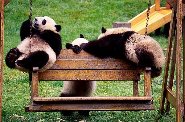 Pandas are palying happily, Wolong