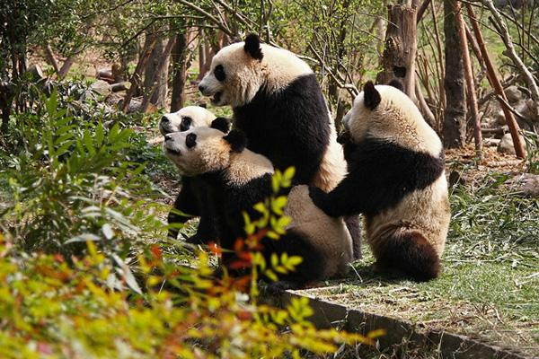 Lovely giant pandas, Wolong