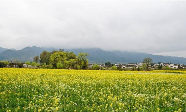 The spring rape flowers of Nanping Village, Huangshan