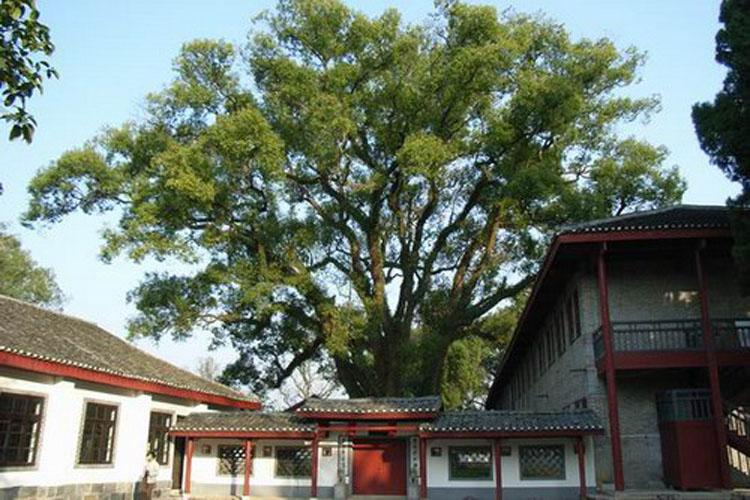 Camphor Tree in Yanshan Garden of Guilin