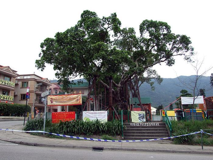 The protected over 200-year-old Wishing Tree, Hong Kong