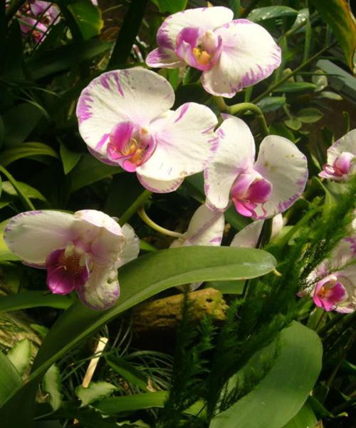 The moth orchid in the garden, Hong Kong