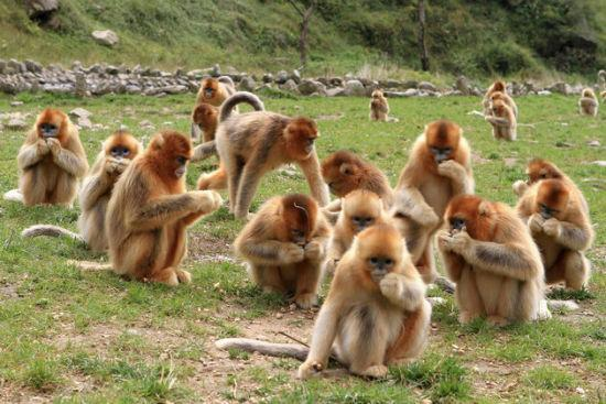The golden monkeys in the reserve, Xi'an