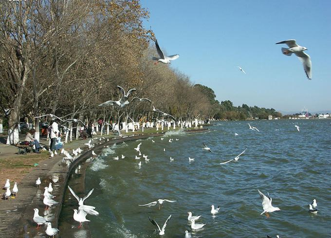 The red-lip seagulls are to be found everywhere at the Dianchi Lake and Haigeng Park.
