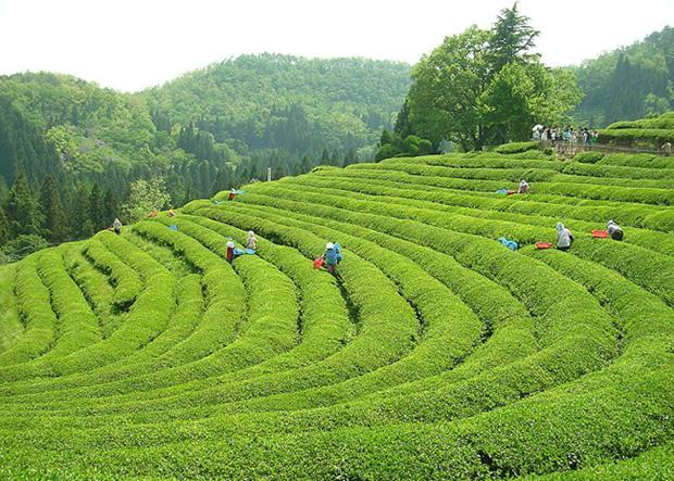 Meijiawu is a leisure village in tea farm style famous for producing the renowned Dragon Well Tea.