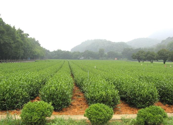 The tea trees in Meijiawu Culture Tea Village, Hangzhou