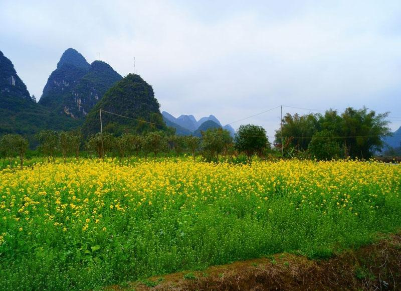 It is ideal to enjoy rape flowers on the banks of Yulong River in spring
