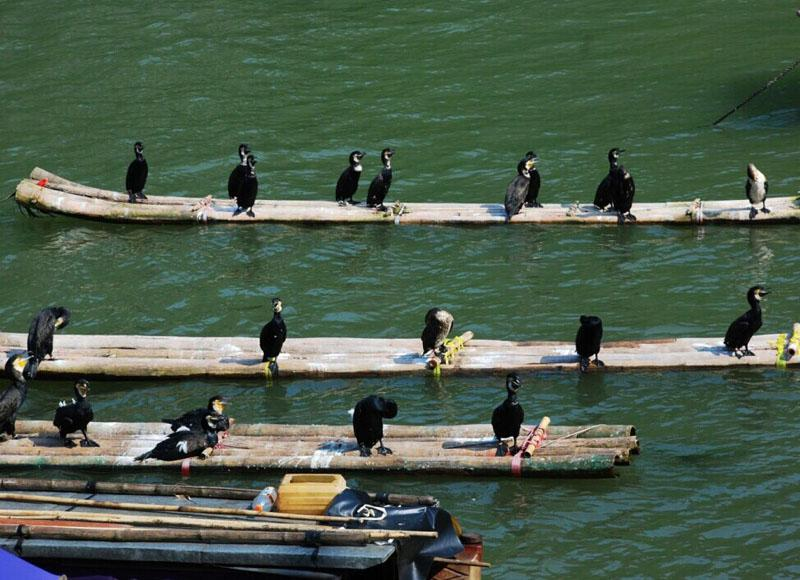 Visitors may see cormorants when take ship or bamboo raft from Yangdi to Xingping in Yangshuo
