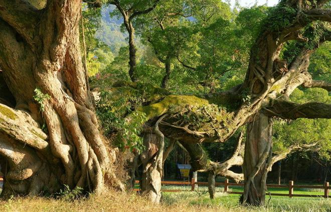 The huge tree trunk of the millennium banyan tree