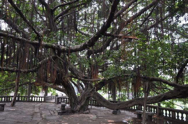 The millennium years old ancient banyan tree