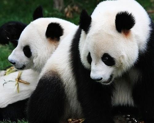 Chengdu Research Base Of Giant Panda Breeding Giant Panda