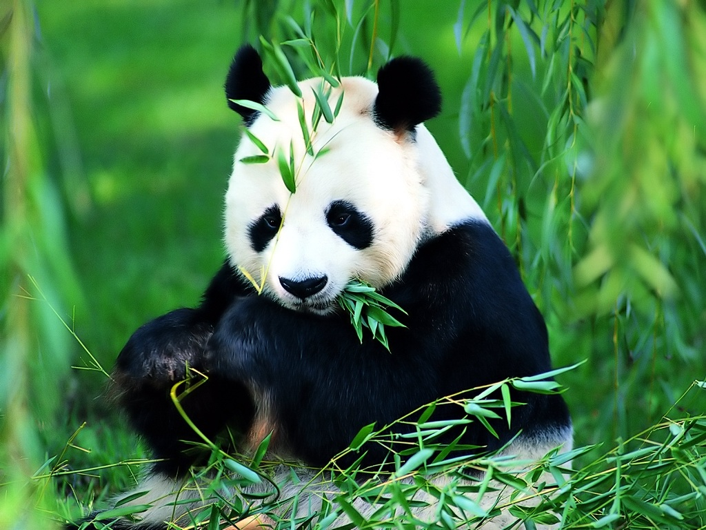 A lovely panda eats bamboos
