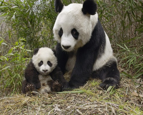 Panda mama and his panda baby, Wolong