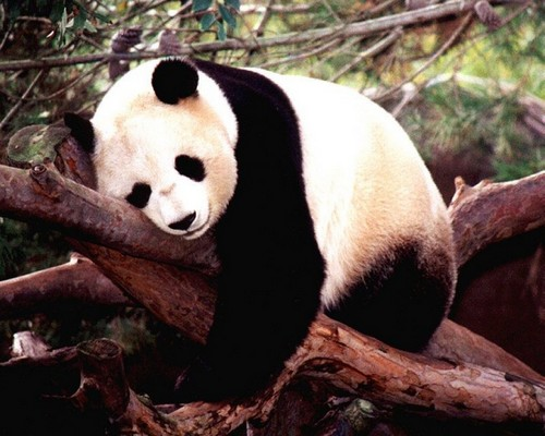 A panda sleeps on logs, Wolong Panda Center