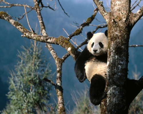 The panda leisurely sits on a tree, Wolong