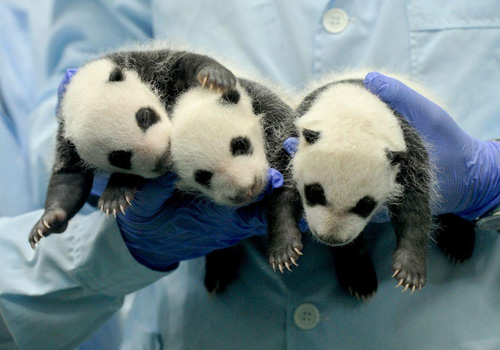 The naming contest is launched for the triplet pandas born in Guangzhou