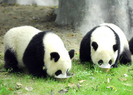 7 Days Beijing-Chengdu-Beijing Tour with Giant Pandas
