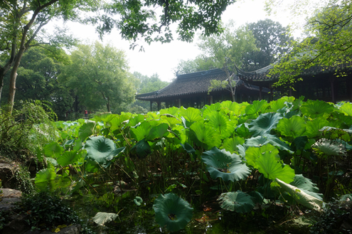 Lotus leaves in Humble Administrator's Garden